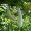 บวบหอมสีขาว - Chinese White Jade Luffa thumbnail 1