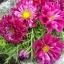 ดาวกระจายดอกซ้อนสีบานเย็น - Double Click Cranberries Cosmos thumbnail 2