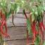 พริกคาเยนผลยาวสีแดง - Long Red Cayenne Pepper thumbnail 2