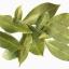 ต้นกระวาน - Bay leaf (Laurus nobilis) thumbnail 6