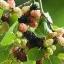 ต้นหม่อนทานผล (สายพันธุ์นำเข้า) - Mulberry thumbnail 1