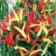 พริกหวานประดับจีน - Chinese Ornamental Sweet Pepper thumbnail 1