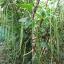 ถั่วฝักยาว - Yard Long Bean (1-1.2 เมตร) thumbnail 2