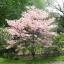 ด๊อกวู๊ดสีชมพู - Pink Dogwood Tree thumbnail 3