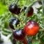 มะเขือเทศอินดิโกโรส - Indigo Rose Tomato thumbnail 2