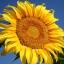 ทานตะวันเกรย์สตริป - Grey Strip Sunflower thumbnail 1