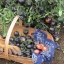 มะเขือเทศอินดิโกโรส - Indigo Rose Tomato thumbnail 3