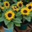 ทานตะวันบิ๊กสมายด์ - Big Smile Sunflower (พันธุ์แคระ) thumbnail 1