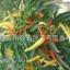 พริกหวานประดับจีน - Chinese Ornamental Sweet Pepper thumbnail 3
