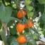 มะเขือเทศแอปริคอตดรีม F1 - Apricot Dream F1 Tomato (หวานมาก 11.5 Brix) thumbnail 2