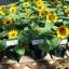ทานตะวันบิ๊กสมายด์ - Big Smile Sunflower (พันธุ์แคระ) thumbnail 3
