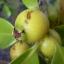 ฝรั่งสตรอเบอรี่สีเหลือง - Yellow Strawberry Guava thumbnail 2