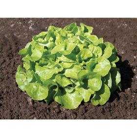 เมล็ดพันธุ์ผักสลัด กรีนโอ๊ค ( Green Oak ) แบบเมล็ดไม่เคลือบ