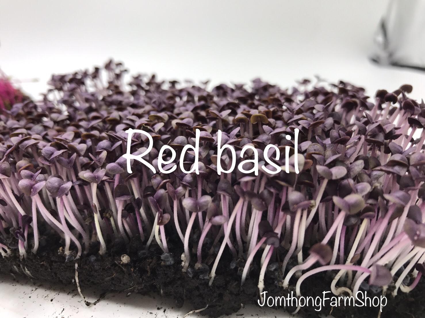 เมล็ดเบซิลเรด Basil, Red Rubin