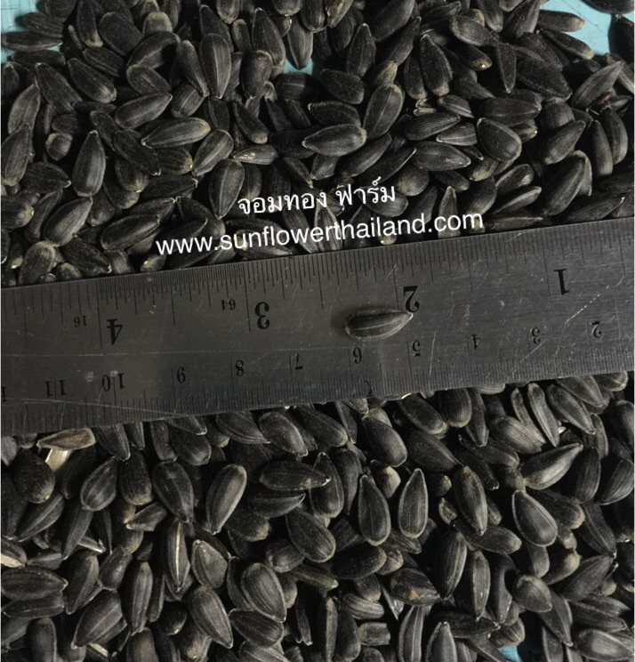 เมล็ดทานตะวันดำ เมล็ดทานตะวันงอก ต้นอ่อนทานตะวัน ทานตะวันดำ