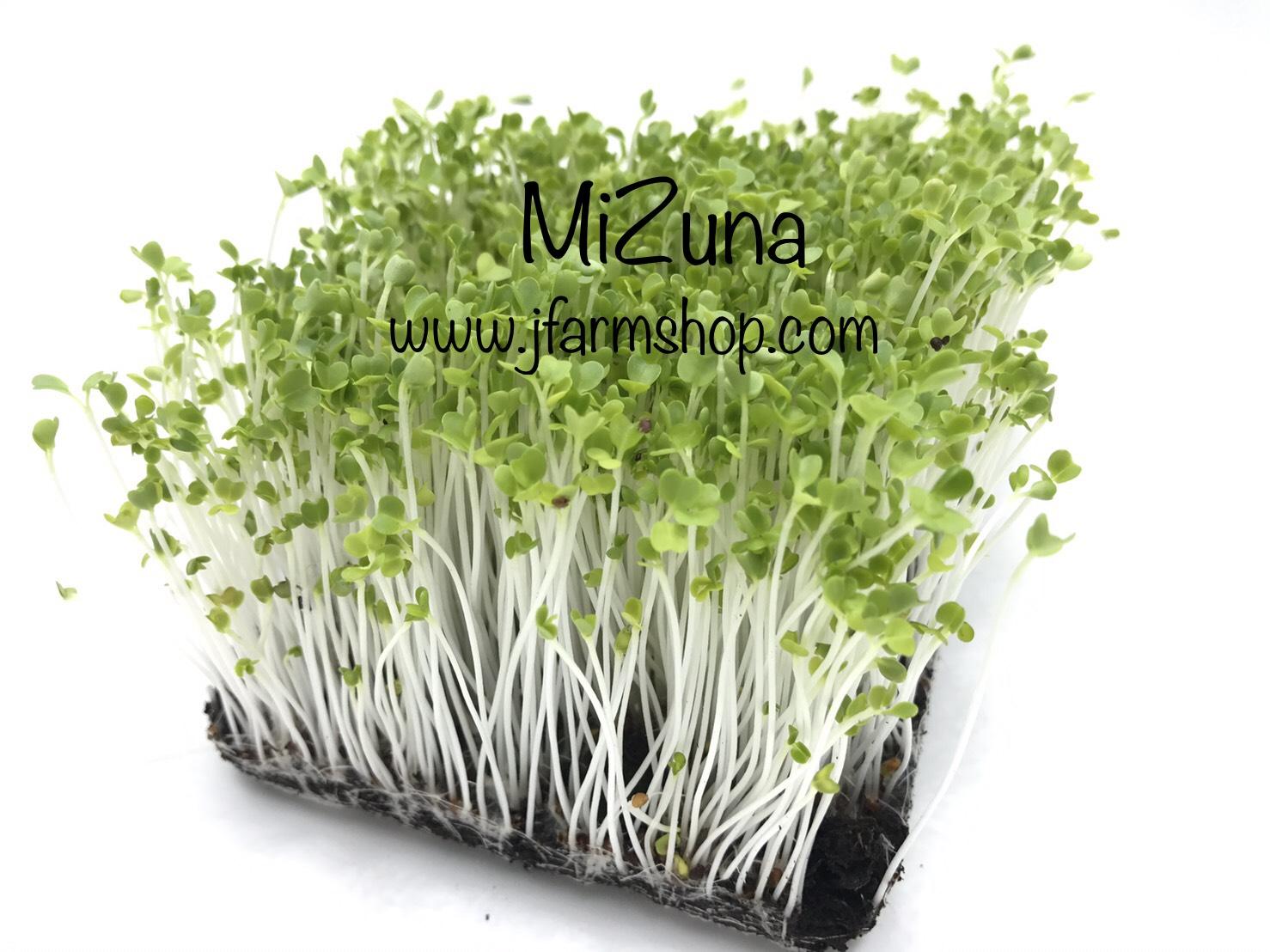 เมล็ดมิซูน่า Mizuna Microgreen