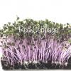 Red cabbage microgreens เมล็ดกะหล่ำปลีม่วง 10 กรัม