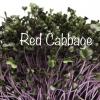 Red cabbage microgreens เมล็ดกะหล่ำปลีม่วง