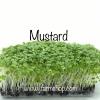 Mustard, Southern Giant เมล็ดมัสตาร์ด Microgreen