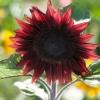 เมล็ดทานตะวันดอก สีเเดง ProCut Red บรรจุ 20 เมล็ด