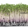 Red kale microgreen