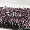 เมล็ดเบซิลเรด Basil, Red Rubin 6กรัม