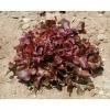 เมล็ดพันธุ์ผักสลัด เรดโอ๊ค ( Red Oak )