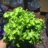 เมล็ดกรีนสลัดโบลว์ (Green Salad Bowl Lettuce)