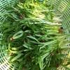 วิธีปลูกต้นอ่อน ผักบุ้ง ผักบุ้งต้นอ่อน morning glory sprout