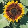 เมล็ดทานตะวันดอกสี เหลืองเเดง Ring of Fire บรรจุ 10 เมล็ด