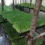 ต้นอ่อนข้าวสาลี ต้นอ่อนข้าวสาลีตัดสด Wheatgrass 1 Kg. thumbnail 9