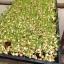 เมล็ดโต้เหมี่ยว โต้เหมี่ยว โต้วเหมี่ยว ถั่วลันเตาเมล็ดเหลือง Yellow Pea foe sprout thumbnail 4