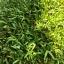 เมล็ดผักบุ้ง ต้นอ่อนผักบุ้ง เมล็ดผักบุ้งต้นอ่อน morning glory sprout thumbnail 1