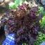 เมล็ดเรดสลัดโบลว์ (Red Salad Bowl Lettuce)
