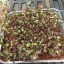 Red cabbage microgreens เมล็ดกะหล่ำปลีม่วง thumbnail 3