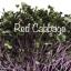 Red cabbage microgreens เมล็ดกะหล่ำปลีม่วง thumbnail 1