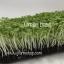 Basil Micro-Greens อิตาเลี่ยนเบซิล โหระพาฝรั่ง