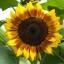 ทานตะวันดอก 2 สี ProCut Bicolor บรรจุ 10 เมล็ด thumbnail 1
