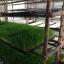 ต้นอ่อนข้าวสาลี ต้นอ่อนข้าวสาลีตัดสด Wheatgrass 1 Kg. thumbnail 12