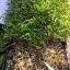 เมล็ดผักบุ้ง ต้นอ่อนผักบุ้ง เมล็ดผักบุ้งต้นอ่อน morning glory sprout thumbnail 4