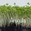 เมล็ดอลูกูล่า Arugula Microgreen thumbnail 1