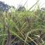 ข้าวไรซ์เบอรี่ (Organic Ricebrry) บรรจุ 1 กิโล thumbnail 5
